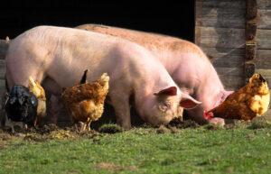 Farm Chickens Pigs